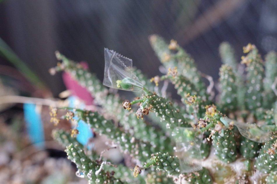 2019年8月17日に撮影したユーフォルビア・ガムケンシス(Euphorbia gamkensis)の種
