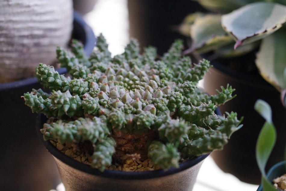 2018年10月29日に撮影したユーフォルビア・ゴルゴニス(Euphorbia gorgonis)