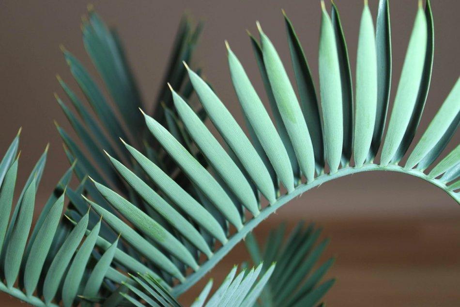 Encephalartos lehmannii(エンセファラルトス・レーマニー)の葉っぱ