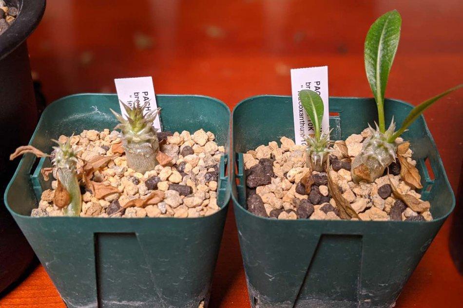 2020年2月4日に撮影した実生のパキポディウム・恵比寿笑い(Pachypodium brevicaule)