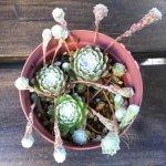 糸を巻く不思議な植物、センペルビウム・巻絹の育て方