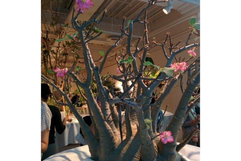 Adenium arabicum(砂漠のバラ)