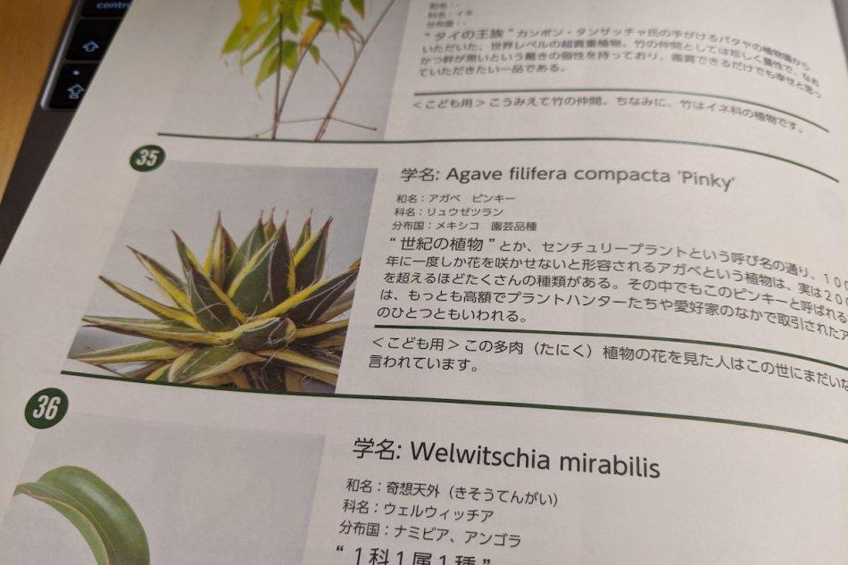 Agave filifera compact 'Pinky'