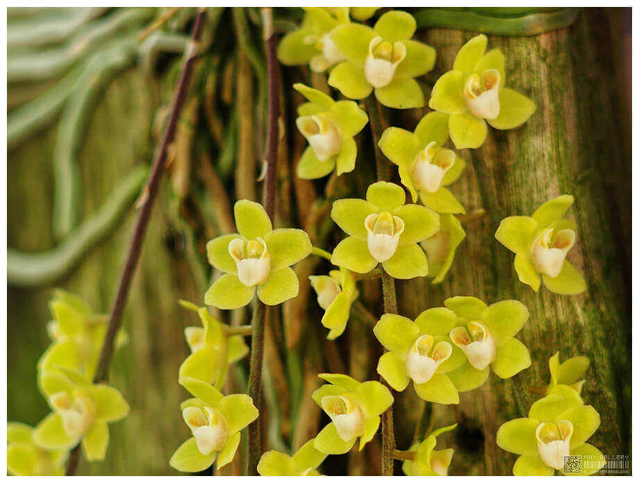 Chiloschista viridiflavaの花(photo by b inxee)
