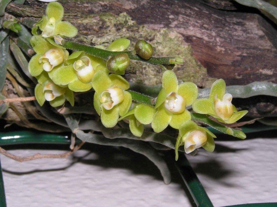 キロシスタ・パリシー(Chiloschista parishii)の花。photo by 阿橋 HQ