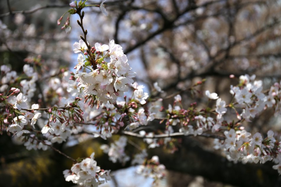 上野公園の桜1