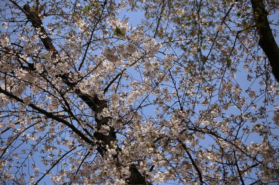 上野公園の桜3