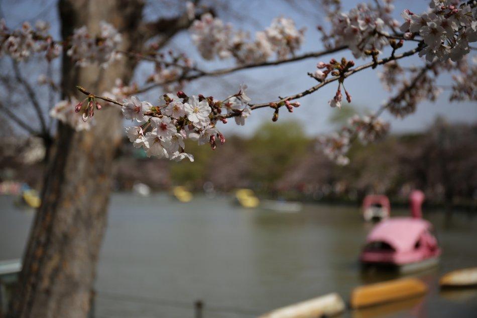 上野公園の桜5