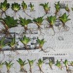 ゆるぷの春のアガベ収穫祭2020と子株販売(終了)