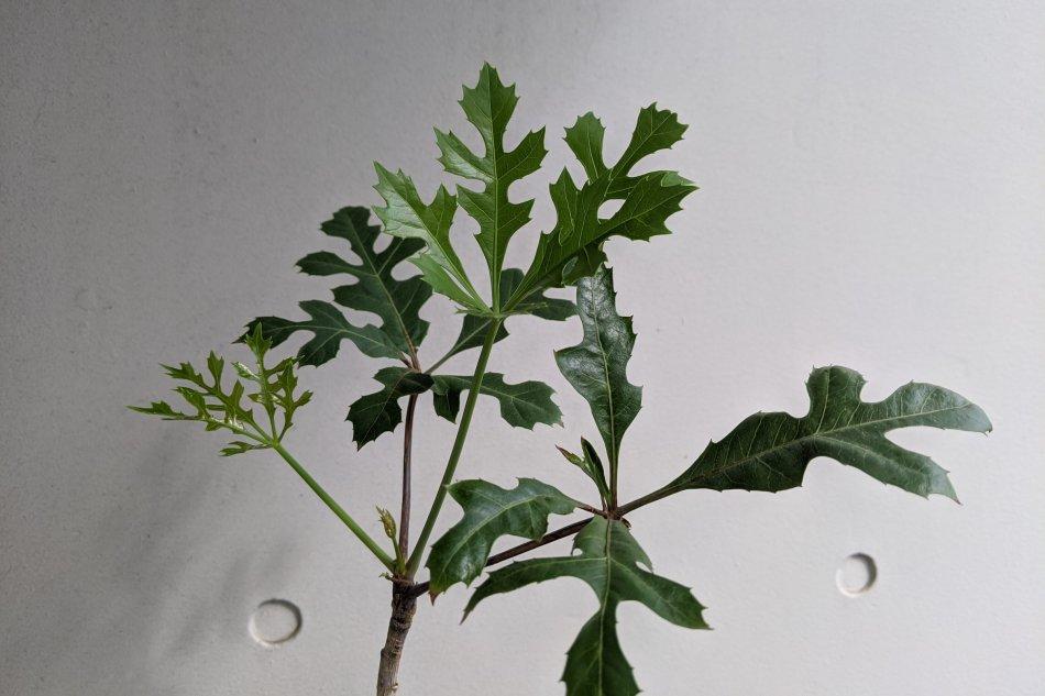 クッソニア・パニクラータ(Cussonia paniculata)の葉