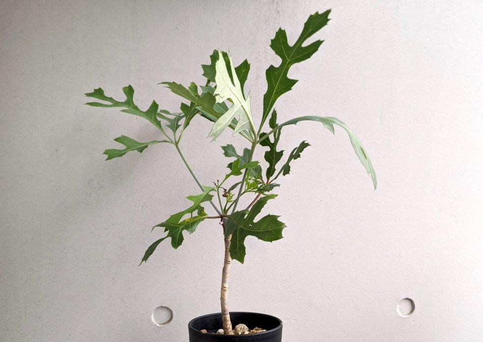2020年6月14日に撮影したクッソニア・パニクラータ(Cussonia paniculata)