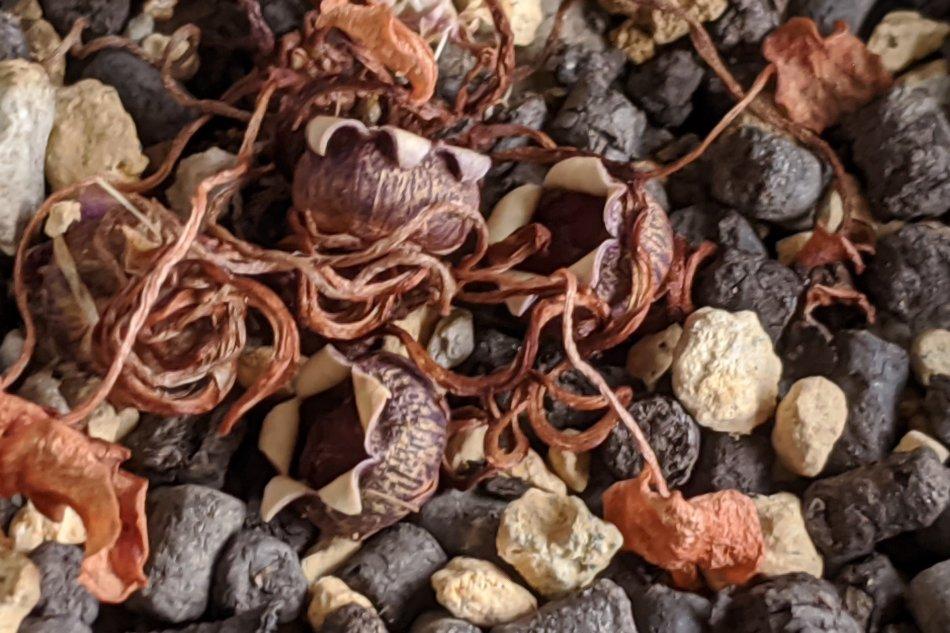 2020年6月21日に撮影したシクラメン・ミラビレの種子