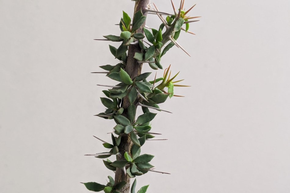 ユーフォルビア・ギューメ花キリン(Euphorbia guillemetii)の枝部分