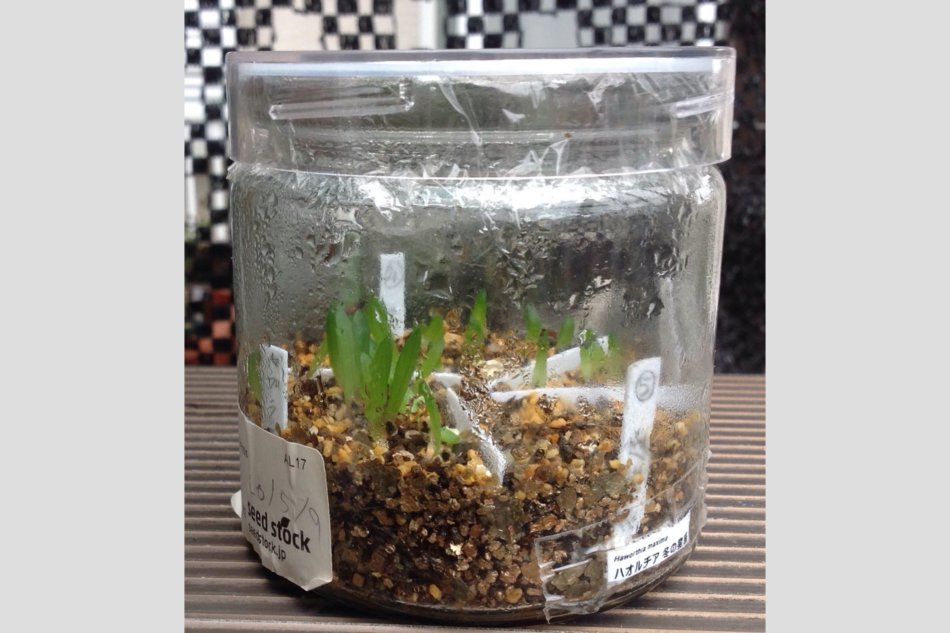 ハオルチア・ボトル実生の苗の鉢上げ