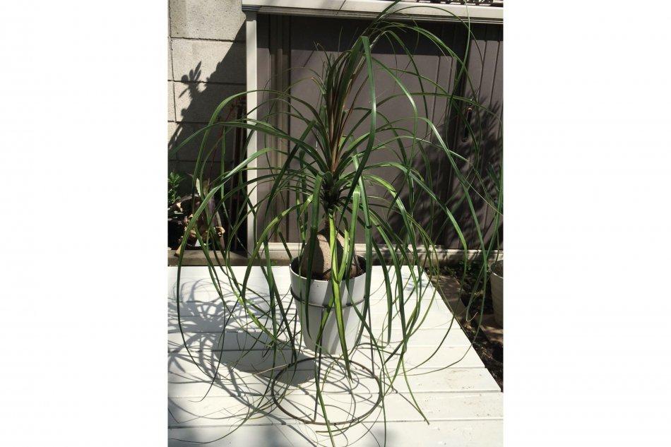 トックリランの葉はとても長く、台に載せて鉢を高くしても葉が下に着いてしまう