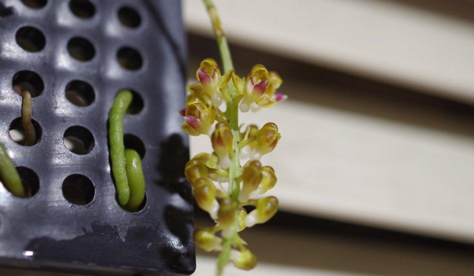 2020年6月6日に撮影したPomatocalpa bambusarumの花