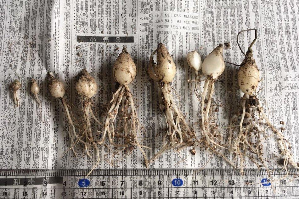 アルブカ・コンコルディアナの実生2年半、球根のサイズ