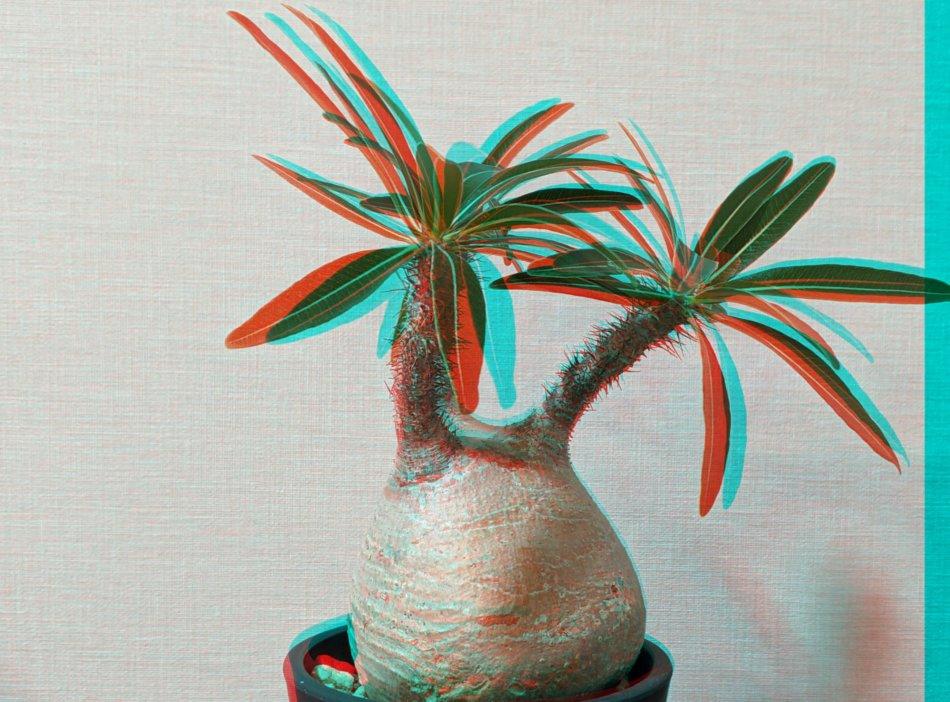 パキポディウム・グラキリス(Pachypodium rosulatum var. gracilius)のアナグリフ(3D画像)