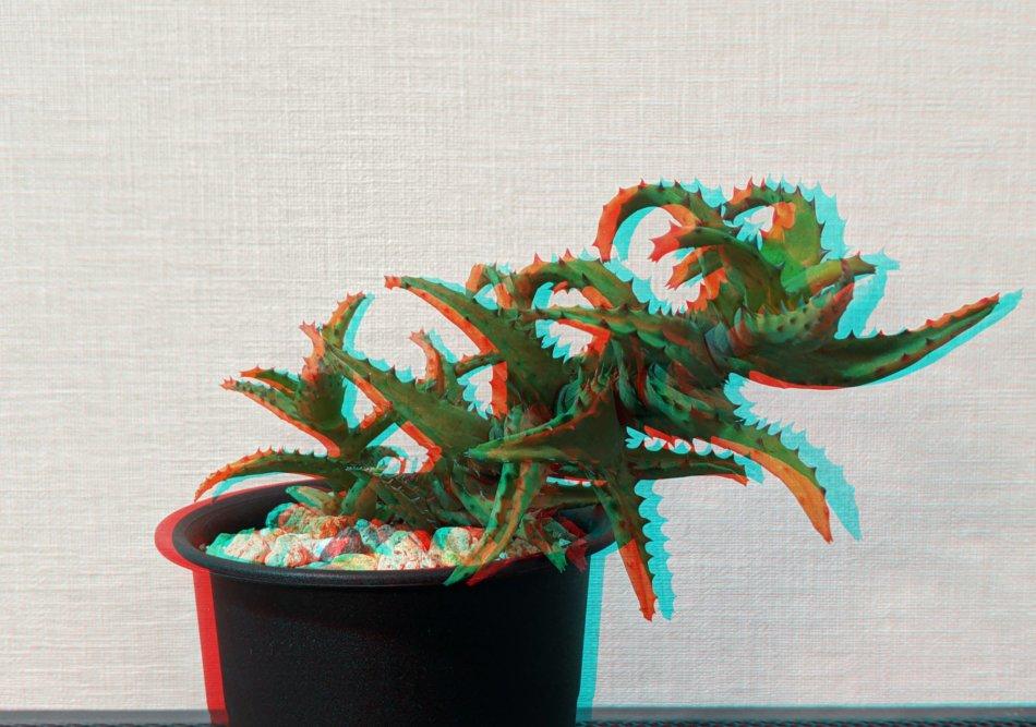 アロエ・カスティロニアエ(Aloe castilloniae)のアナグリフ(3D画像)