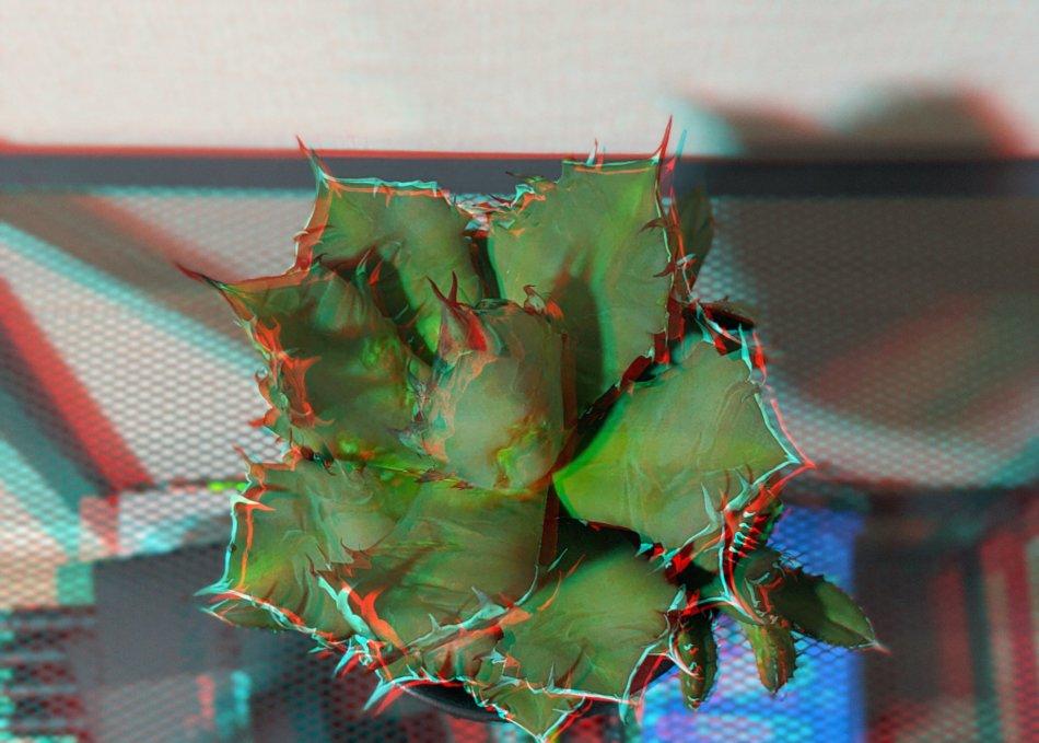 アガベ・チタノータ ナンバーワン農大(Agave titanota)のアナグリフ(3D画像)