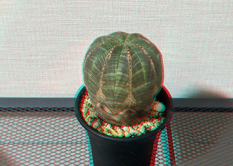 ユーフォルビア・オベサ(Euphorbia obesa)のアナグリフ(3D画像)