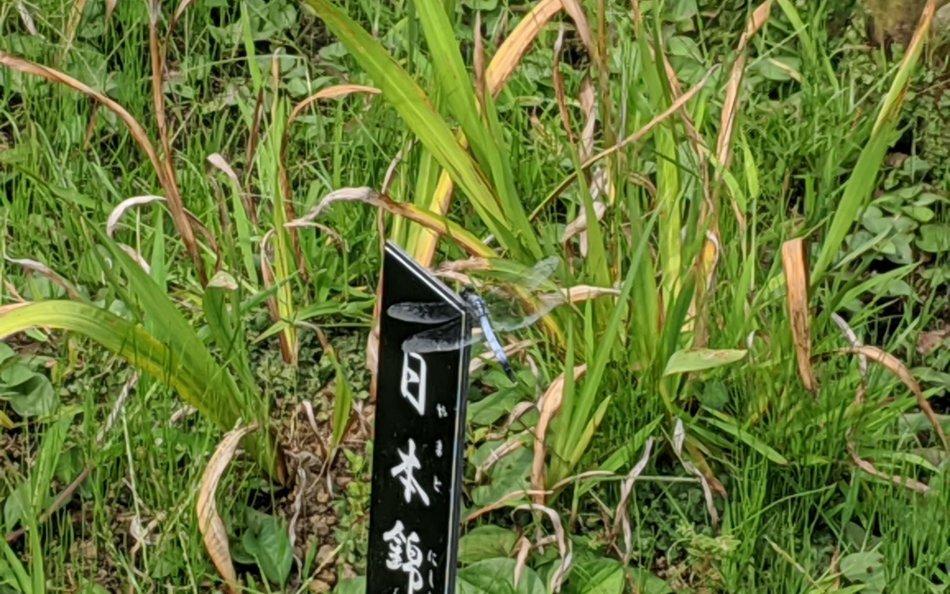 肥後細川庭園でシオカラトンボ