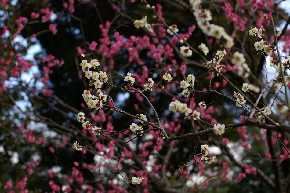 2006年2月22日に自分で撮影した小石川後楽園の梅林の梅