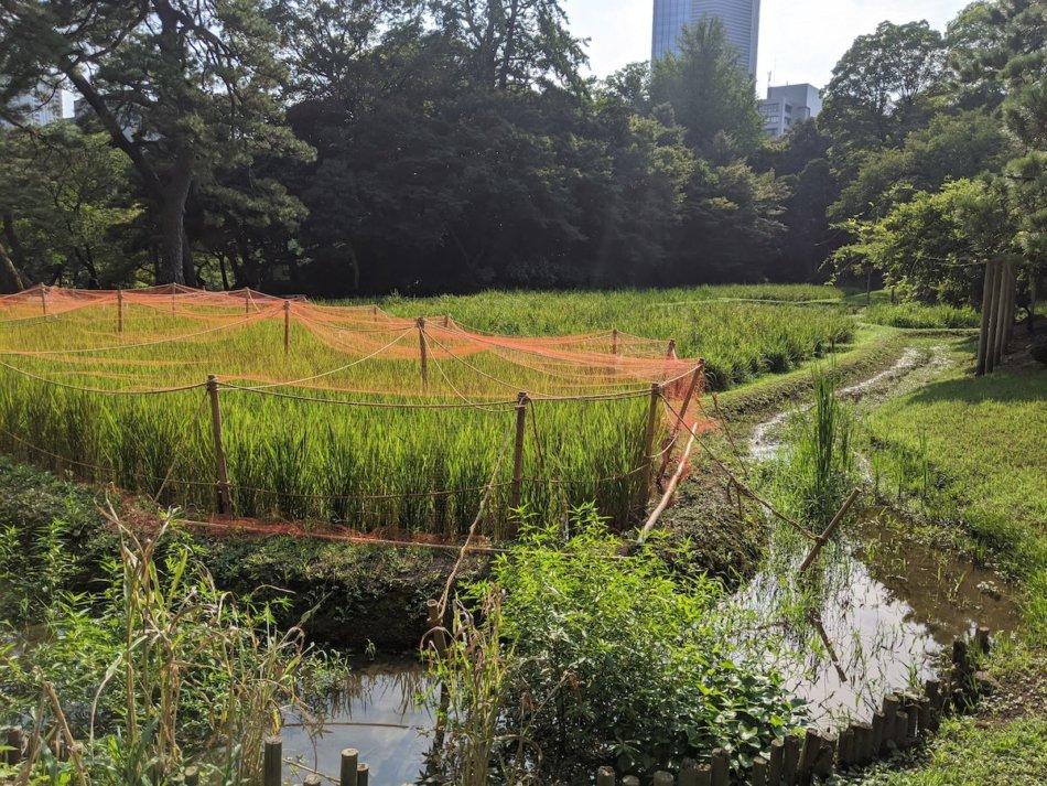 小石川後楽園の稲田