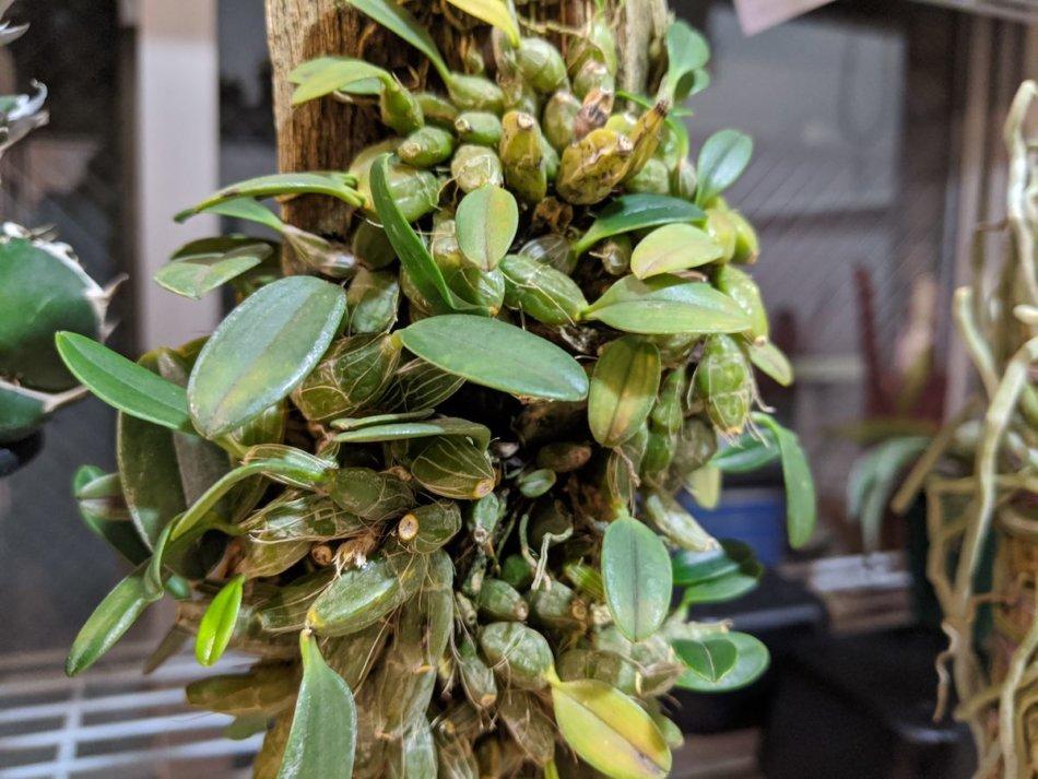 2020年1月11日に撮影したデンドロビウム・ジェンキンシー(Dendrobium jenkinsii)