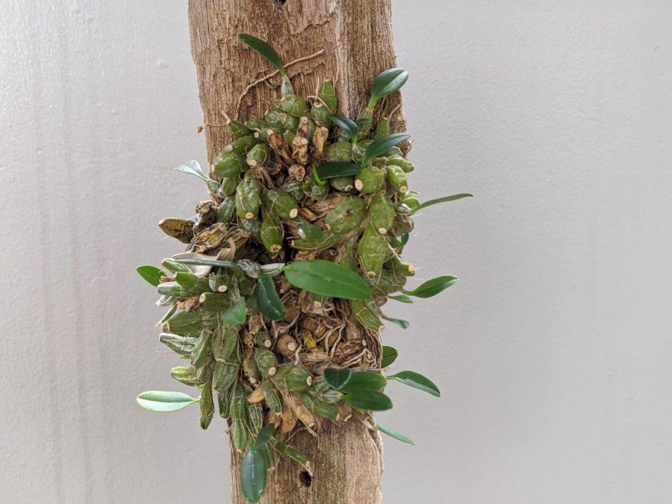 2020年9月12日に撮影したデンドロビウム・ジェンキンシー(Dendrobium jenkinsii)