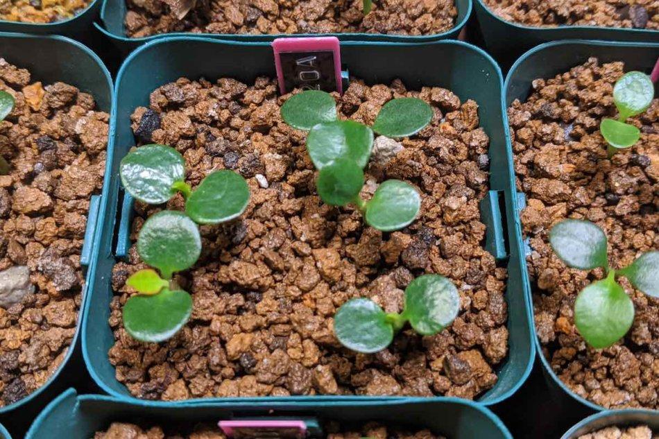 2020年9月26日に撮影したユーフォルビア・フランコイシー(Euphorbia francoisii)の実生株A
