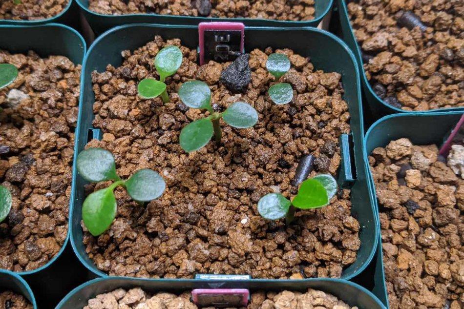 2020年9月26日に撮影したユーフォルビア・フランコイシー(Euphorbia francoisii)の実生株E