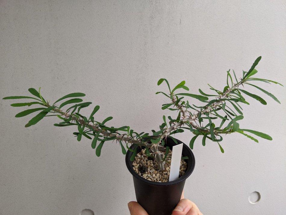 2020年7月18日に撮影したユーフォルビア・サカラハエンシス(Euphorbia sakarahaensis)