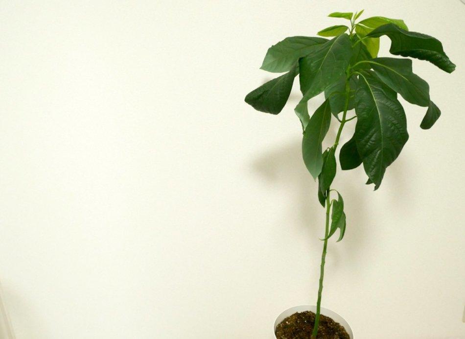 種から約2年育てたアボガドの木
