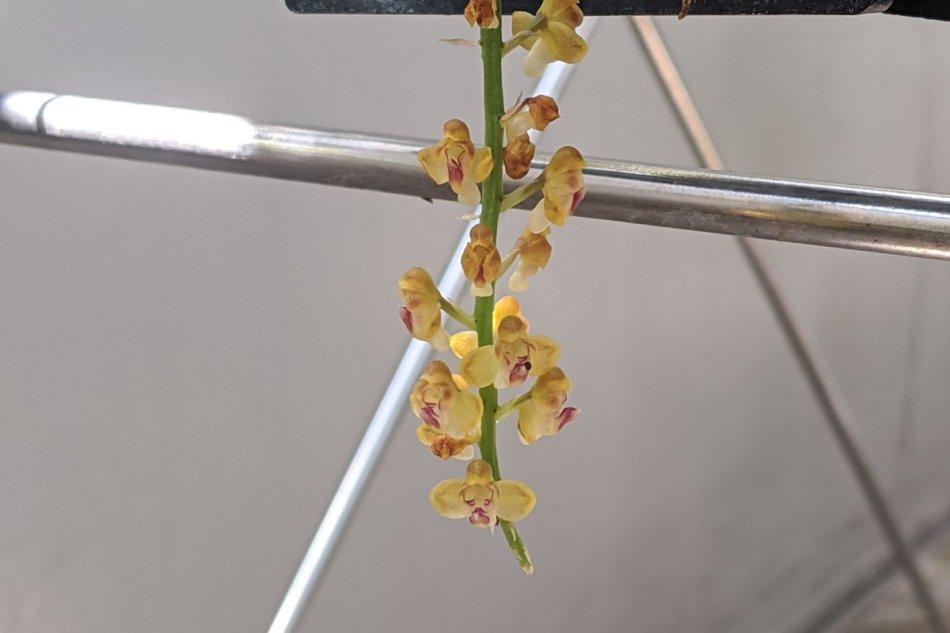 2020年8月18日に撮影したPomatocalpa bambusarumの花
