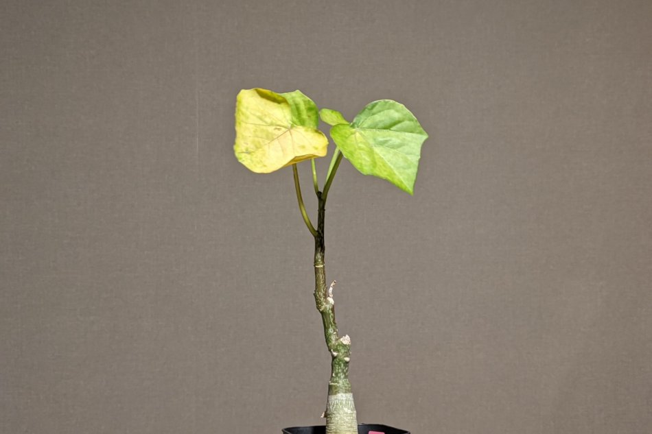 2020年10月8日に撮影したアデニア・エレンベッキー(Adenia ellenbeckii)
