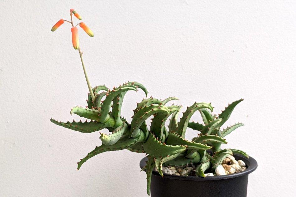2020年10月4日に撮影したアロエ・カスティロニアエ(Aloe castilloniae)