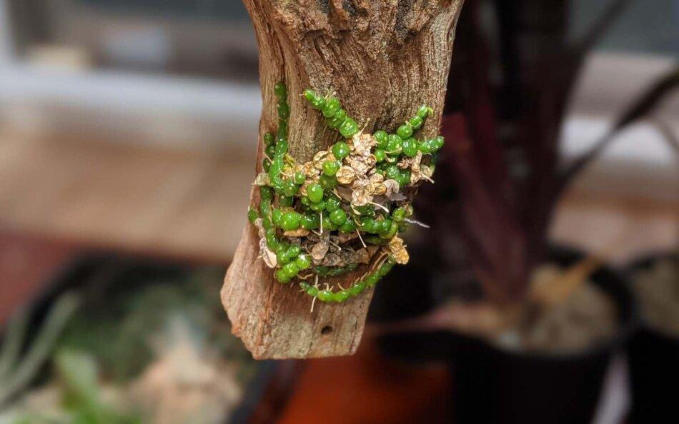 2021年1月24日に撮影したBulbophyllum moniliforme(バルボフィラム・モニリフォルメ)