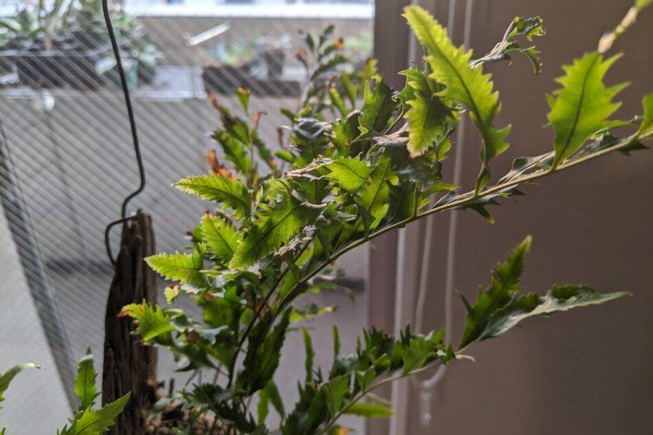 2020年1月22日に撮影したドリナリア・リギデュラ 'ホワイテイ'(Drynaria rigidula 'whitei')