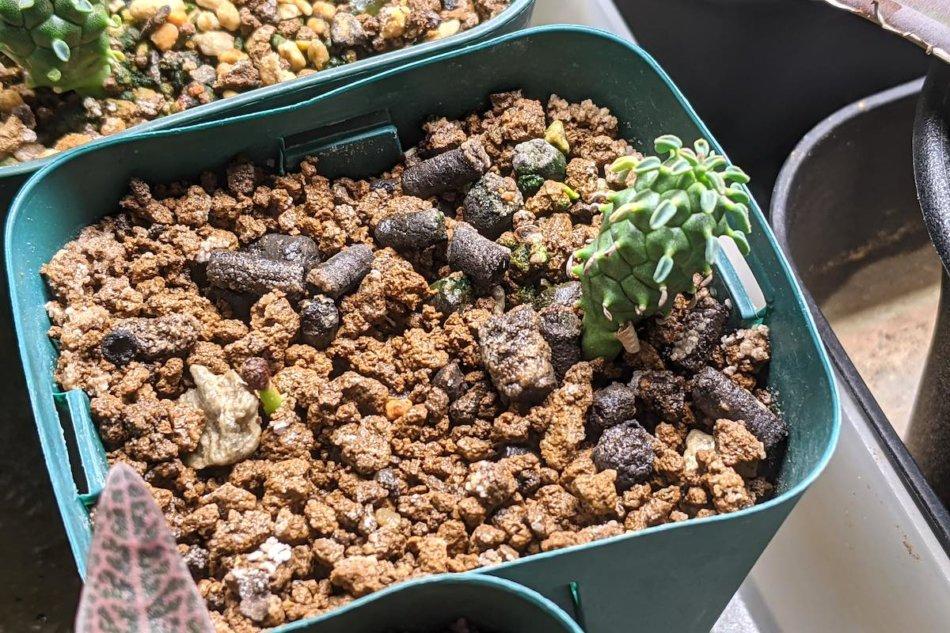 2021年1月1日に撮影した実生のユーフォルビア・ガムケンシス(Euphorbia gamkensis)