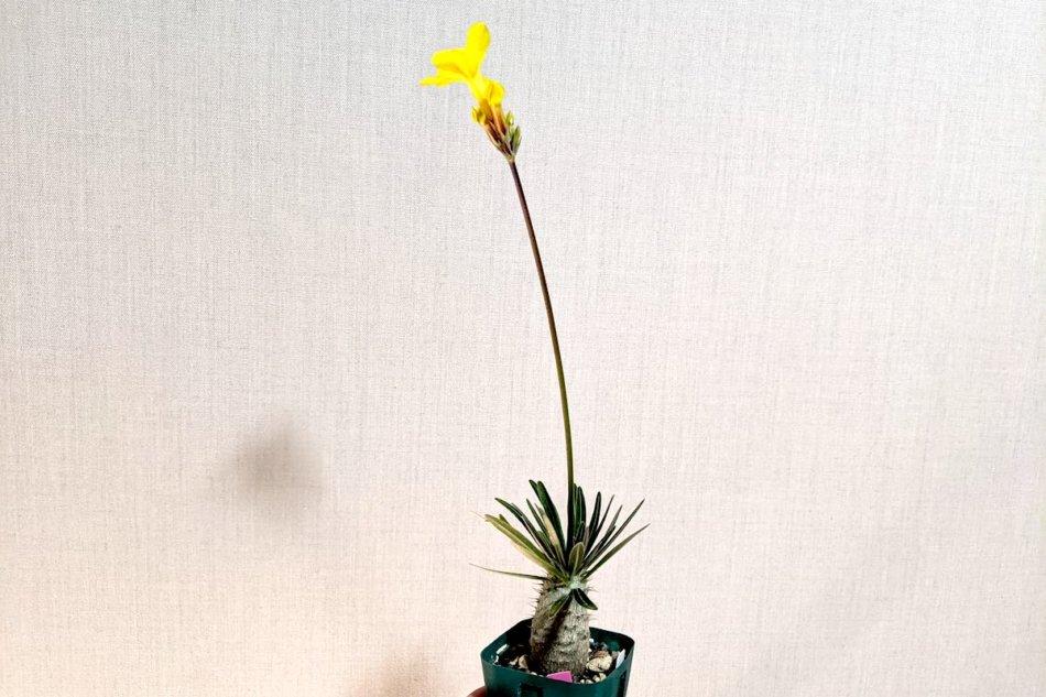 実生パキポディウム・グラキリスの開花