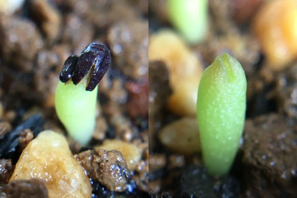 2018年9月6日に撮影したユーベルマニア・ペクチニフェラ(Uebelmannia pectinifera)の実生苗