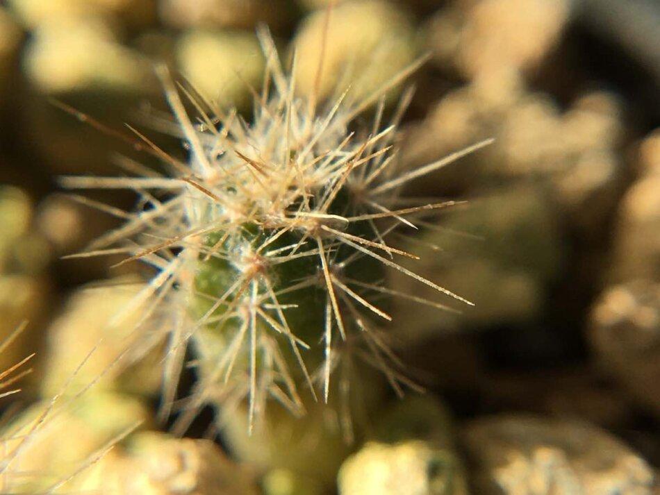 2020年1月19日に撮影したユーベルマニア・ペクチニフェラ(Uebelmannia pectinifera)の実生苗