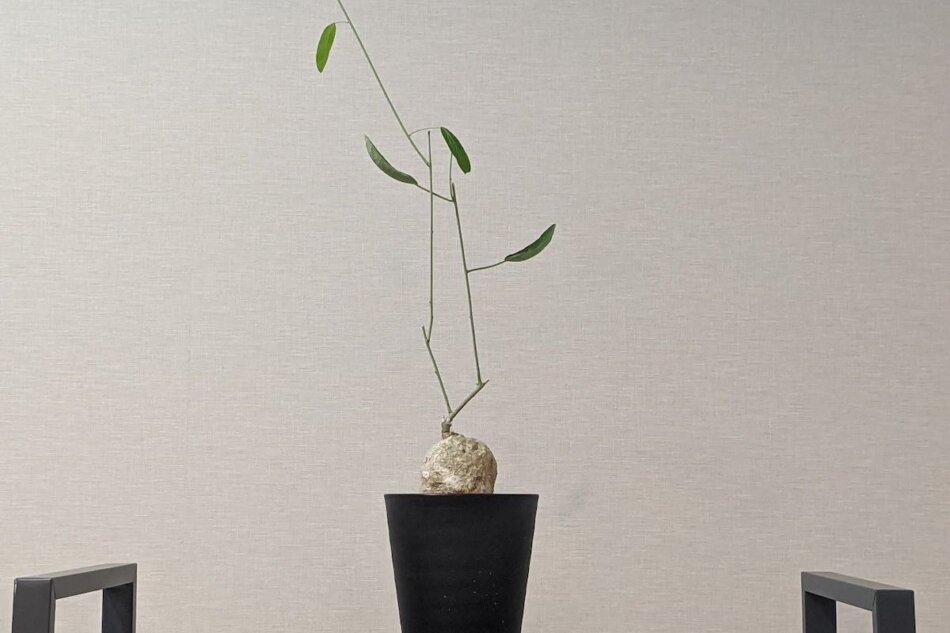 2020年9月26日に撮影したアデニア・ランセオラータ(Adenia lanceolata)
