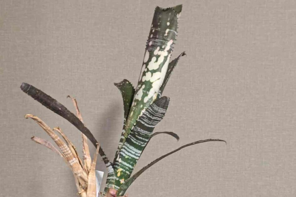 2021年2月7日に撮影したBillbergia vittata 'Domingos Martins'(ビルベルギア・ドミンゴス マルチンス)