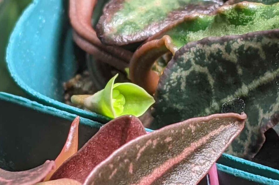 2021年2月10日に撮影したユーフォルビア・フランコイシー(Euphorbia francoisii)の実生株