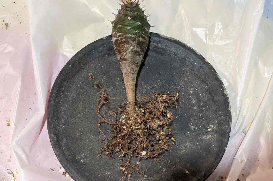 2021年2月24日に撮影したユーフォルビア・パキポディオイデス(Euphorbia pachypodioides)、植替えの様子