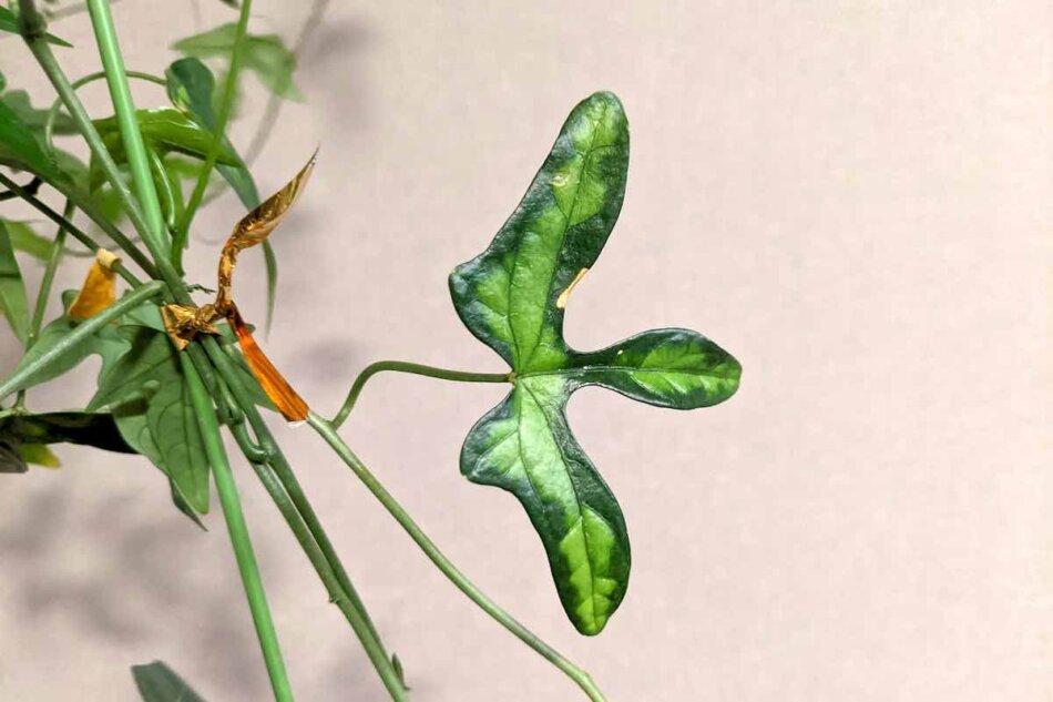 アデニア・リンデニー(Adenia lindenii)の葉っぱ