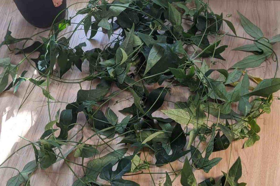 2021年2月24日に撮影したアデニア・リンデニー(Adenia lindenii)の剪定の様子