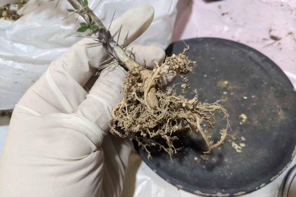 2021年2月25日に撮影したユーフォルビア・ギューメ花キリン(Euphorbia guillemetii)の植え替えの様子